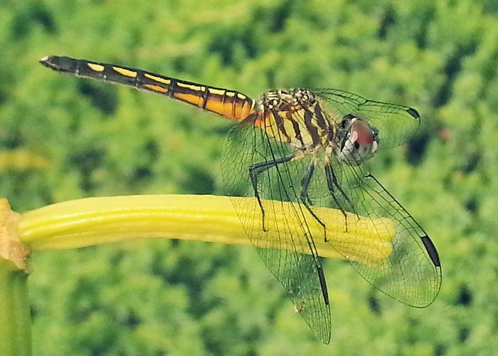 Dragonflies Greeting Card featuring the photograph Rest Time by Jeff Mantz Rhodes