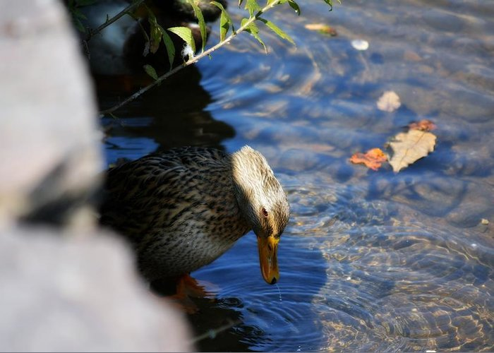 Duck Greeting Card featuring the photograph Resting Quietly by Kimberly Andren