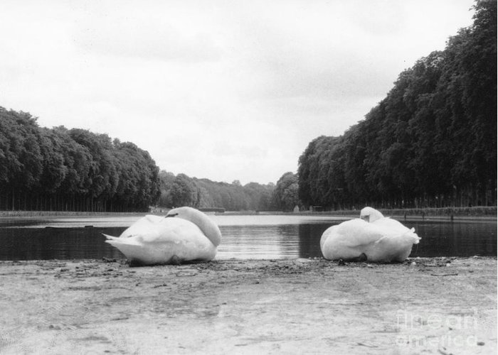 Swans Greeting Card featuring the photograph Resting Swans by Christine Jepsen