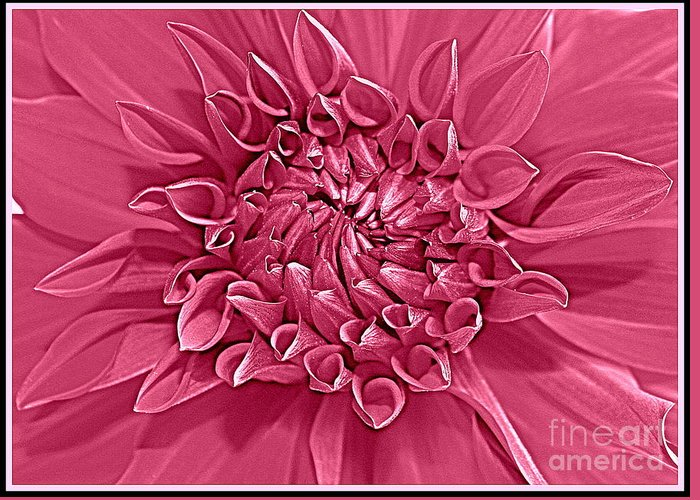 Dahlia Greeting Card featuring the photograph Rhapsody In Pink by Dora Sofia Caputo Photographic Design and Fine Art