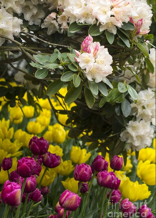 Rhody Greeting Card featuring the photograph Rhodies And Tulips by Louise Magno