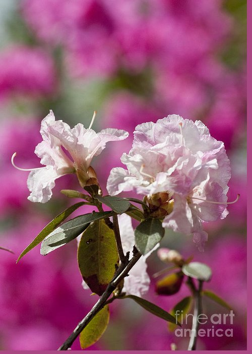 Arboretum Greeting Card featuring the photograph Rhododendron by Steven Ralser