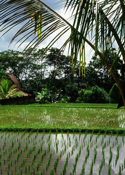 Asia Greeting Card featuring the photograph Rice Fields Bali by Juergen Weiss