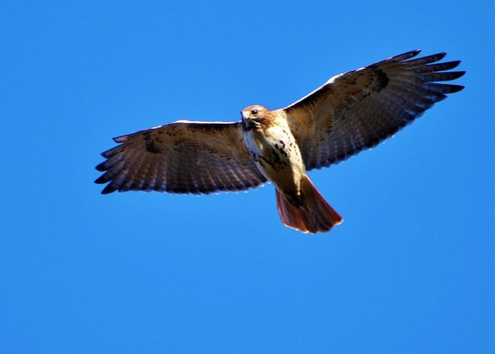 Red-tailed Hawk Greeting Card featuring the photograph Riding The Breeze by William Fox