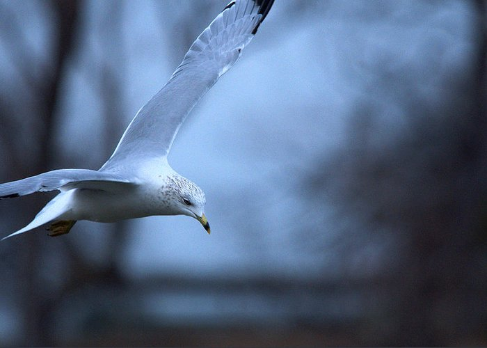 Bird Greeting Card featuring the photograph Ring-billed Gull Gliding Portraits 1 by Roy Williams