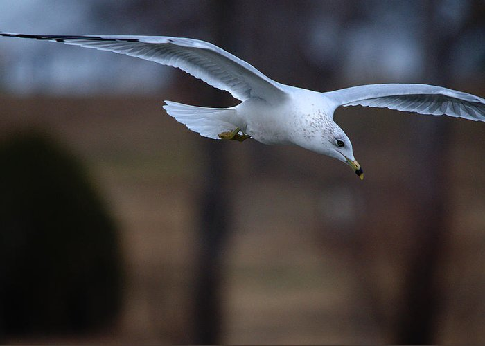 Roy Williams Greeting Card featuring the photograph Ring-billed Gull Gliding Portraits 2 by Roy Williams