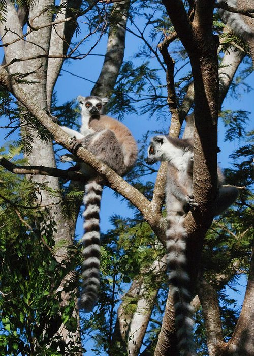 Ring Tailed Lemurs Greeting Cards