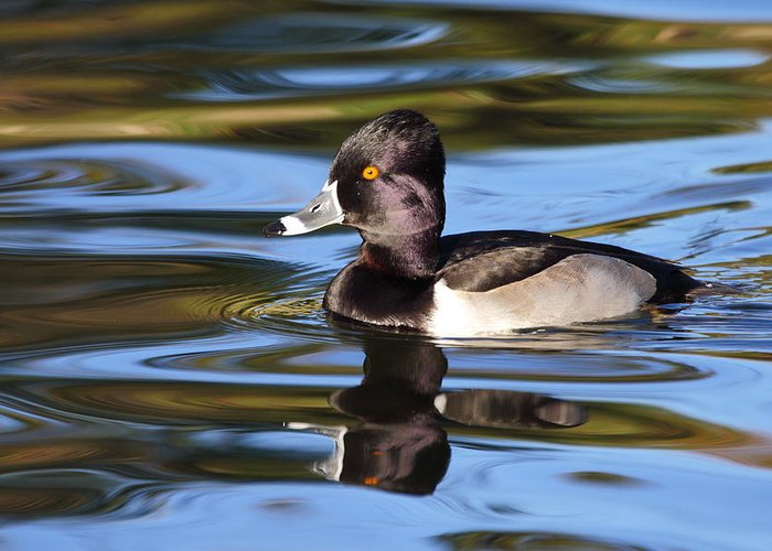 Ring-necked Duck Greeting Card featuring the photograph Rings around Ring-necked Duck by Andrew McInnes