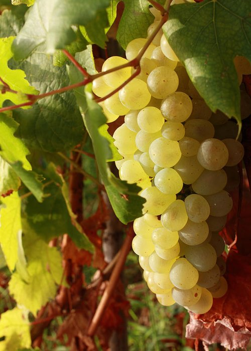 Ripe Grapes Greeting Card featuring the photograph Ripe Grapes by Alex Sukonkin