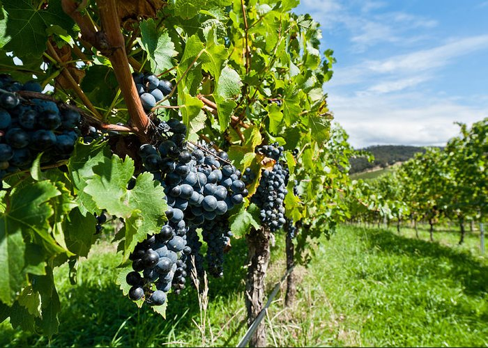 Agriculture Greeting Card featuring the photograph Ripe Grapes Right Before Harvest In The Summer Sun by Ulrich Schade