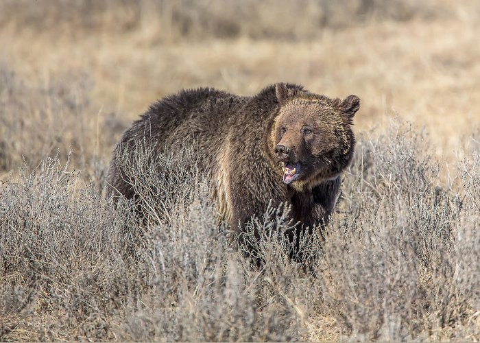 Griz Greeting Card featuring the photograph Roaring Grizzly by Keith R Crowley
