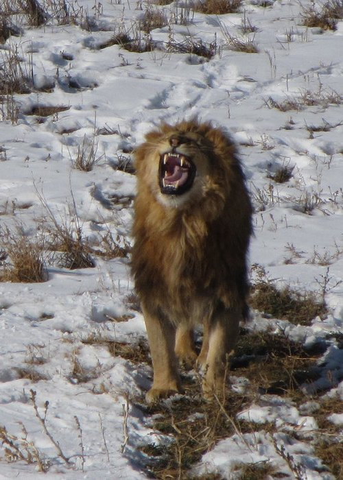 Lion Greeting Card featuring the photograph Roaring Lion by Darlene Grubbs