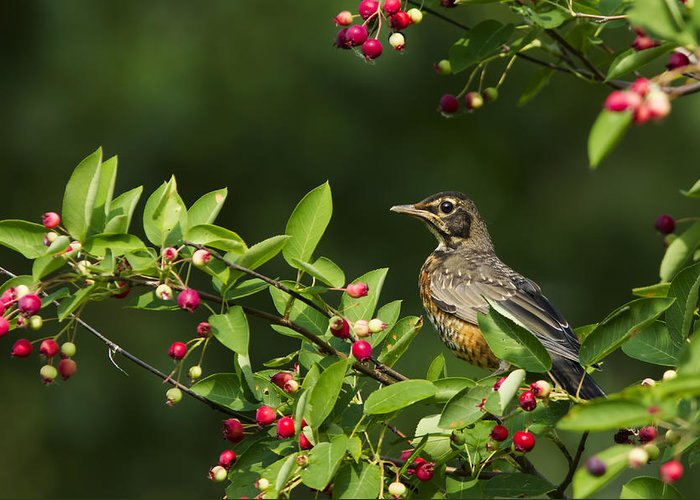 Berries Greeting Card featuring the photograph Robin And Berries by Mircea Costina Photography