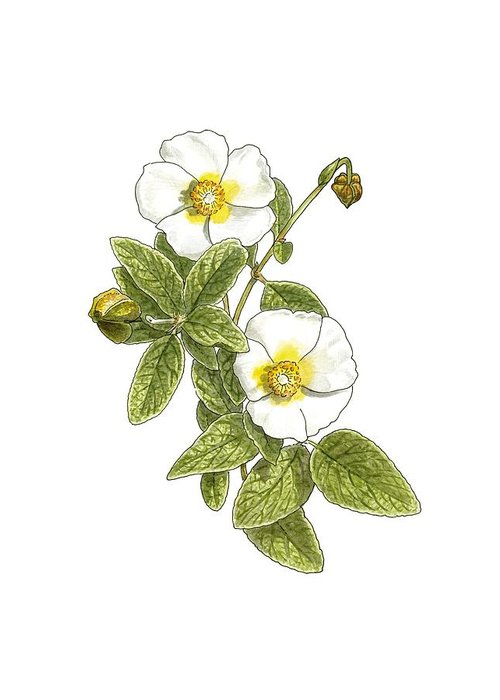 Cutout Greeting Card featuring the photograph Rockrose (cistus Salvifolius), Artwork by Science Photo Library