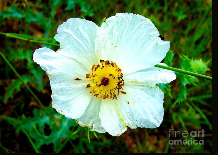 White Flower Greeting Card featuring the photograph Rocky Mountain Wild Flower by Tia Maria - Fine Artist