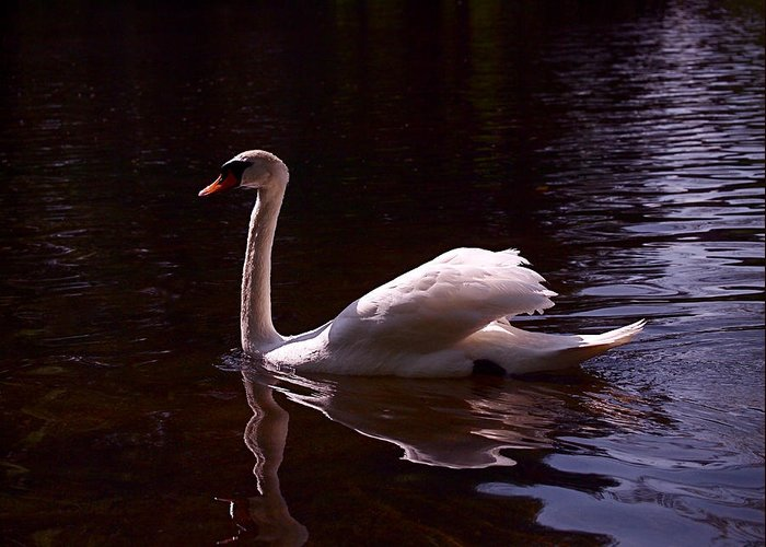 White Swan Greeting Card featuring the photograph Romeo Or Juliet by Rona Black