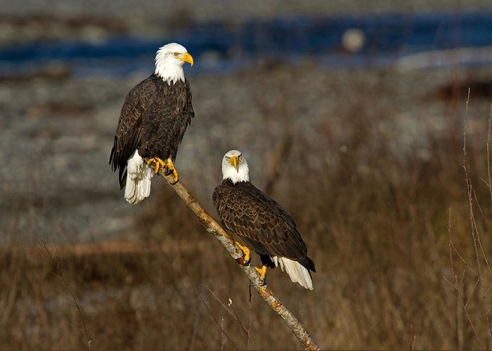 Bald Eagle Greeting Card featuring the photograph Room For Two by Shari Sommerfeld