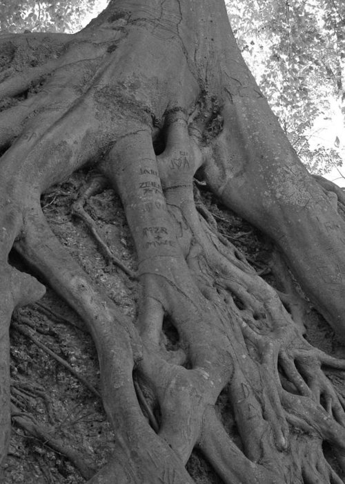 Tree Greeting Card featuring the photograph Roots II by Suzanne Gaff