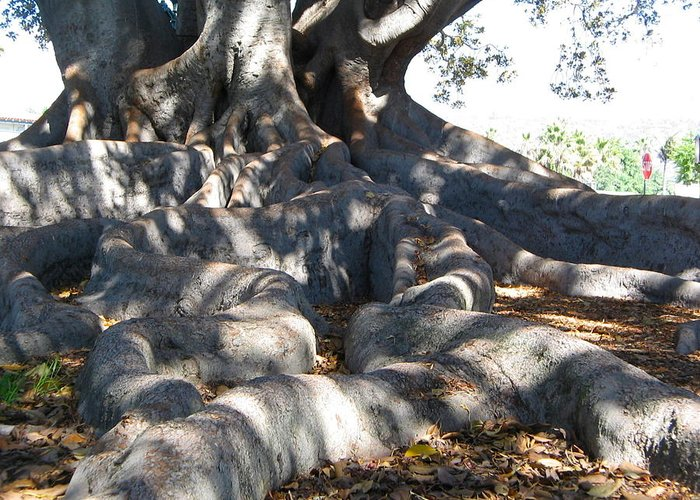 Moreton Fig Tree Greeting Card featuring the photograph Roots Of Large Fig Tree by Denise Mazzocco