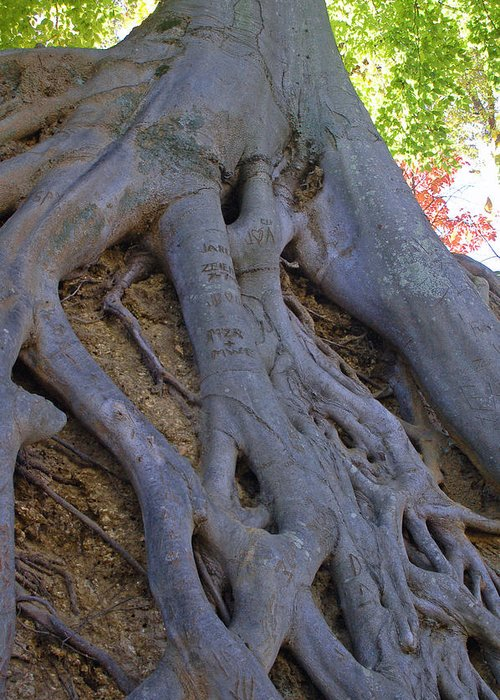 Tree Greeting Card featuring the photograph Roots by Suzanne Gaff