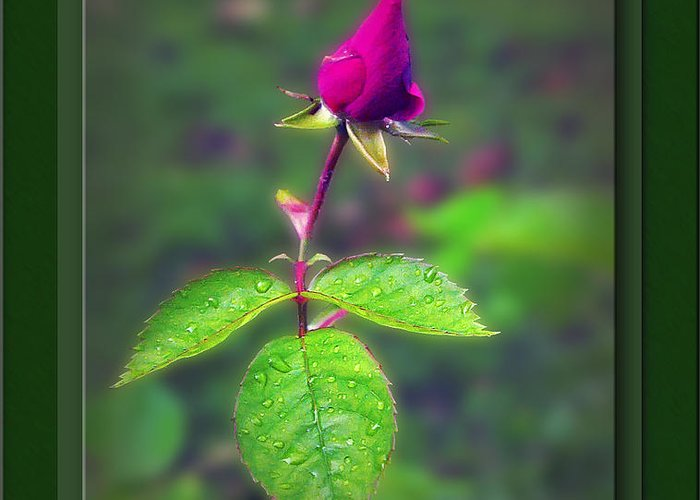 2d Greeting Card featuring the photograph Rose Bud by Brian Wallace