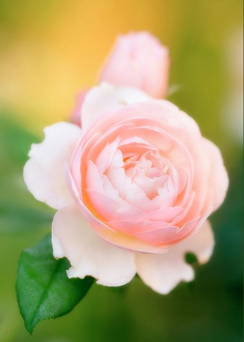 Rosa Hybrid Greeting Card featuring the photograph Rose Flowers (rosa Hybrid) by Maria Mosolova/science Photo Library