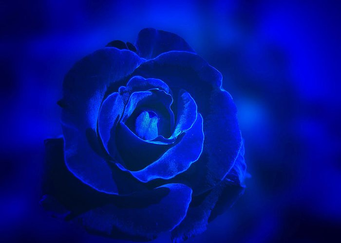 Rose Greeting Card featuring the photograph Rose In Blue by Sandy Keeton