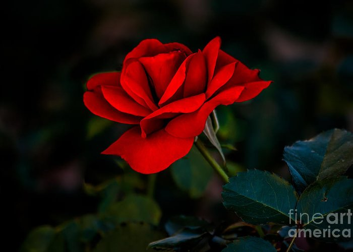 Perennial Greeting Card featuring the photograph Rose Is A Rose by Robert Bales