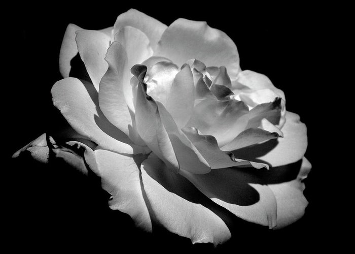 Rose Greeting Card featuring the photograph Rose by Rona Black