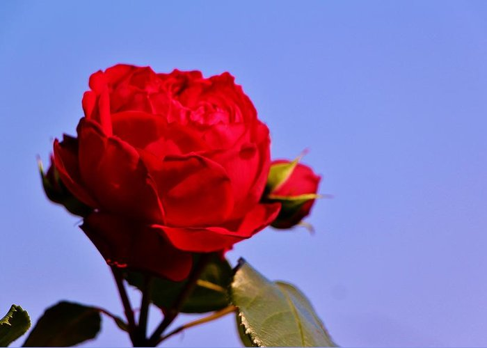 Greeting Card featuring the photograph Rose by Ronald Hanson