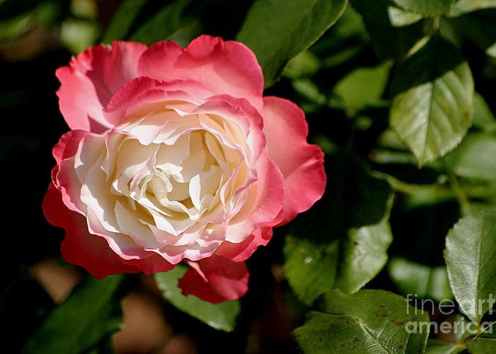 Rose Greeting Card featuring the photograph Rose Ruffles by Living Color Photography Lorraine Lynch