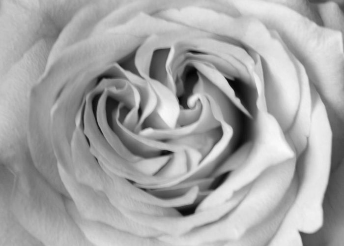 Hybrid Tea Rose Greeting Card featuring the photograph Rose With Heart B W by Connie Fox