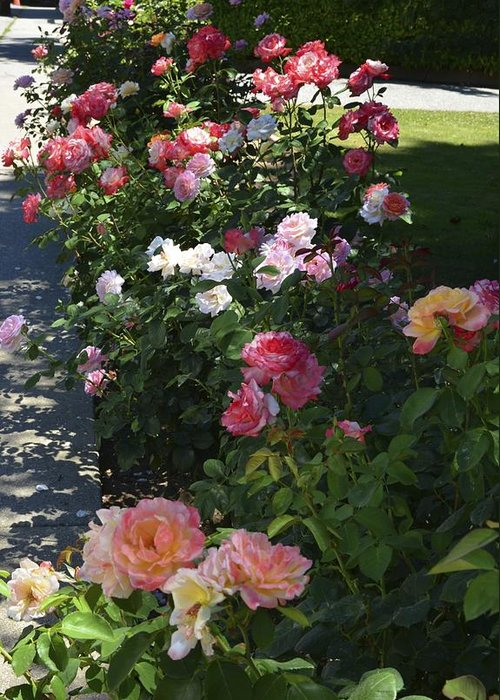 Roses Greeting Card featuring the photograph Row Of Roses by William Hallett