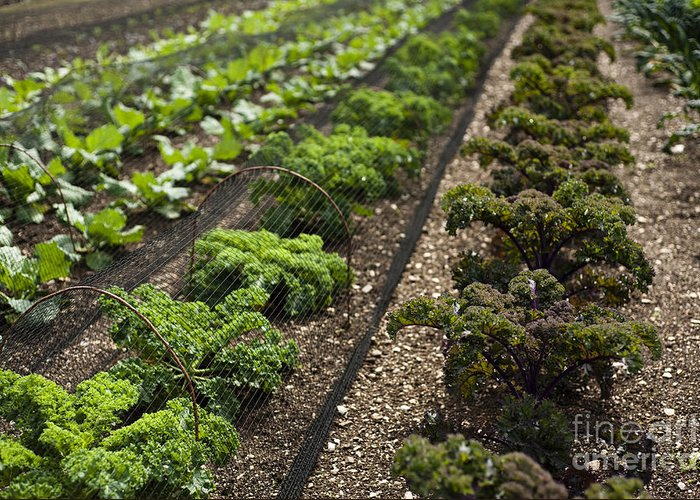 Garden Greeting Card featuring the photograph Rows Of Kale by Anne Gilbert