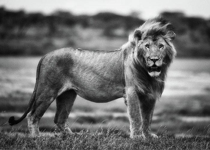 Lion Greeting Card featuring the photograph Royal Pose by Mohammed Alnaser