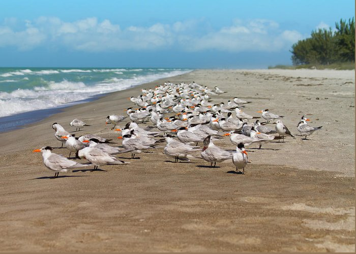 Tern Greeting Card featuring the photograph Royal Terns On The Beach by Kim Hojnacki