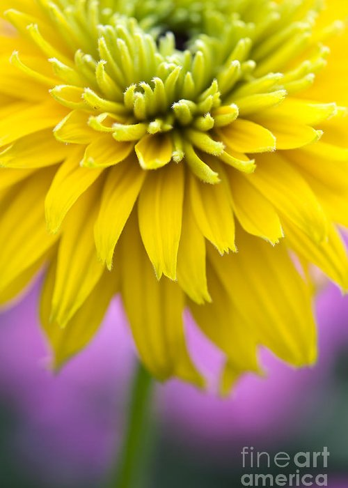 Rudbeckia Cherokee Sunset Greeting Card featuring the photograph Rudbeckia Cherokee Sunset Flower by Tim Gainey