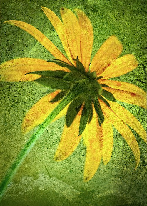 Black-eyed Susan Greeting Card featuring the photograph Rudbeckia On Cement by Onyonet Photo Studios