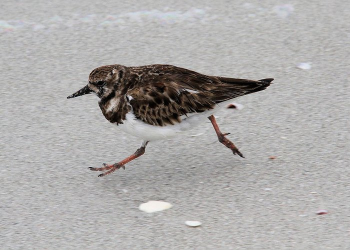 Ruddy Turnstone Greeting Card featuring the photograph Ruddy Turnstone by Doris Potter