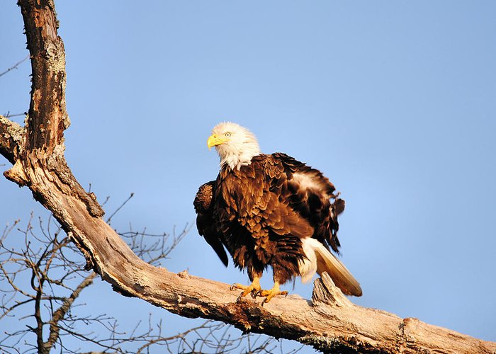 American Greeting Card featuring the photograph Ruffled Feathers by Jai Johnson