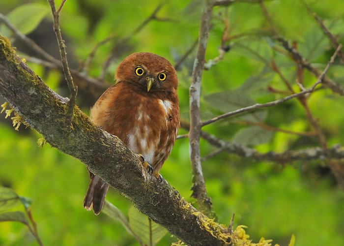 Costa Rican Pygmy Owl Greeting Card featuring the photograph Rufous Morph Costa Rican Pygmy-owl by Tony Beck