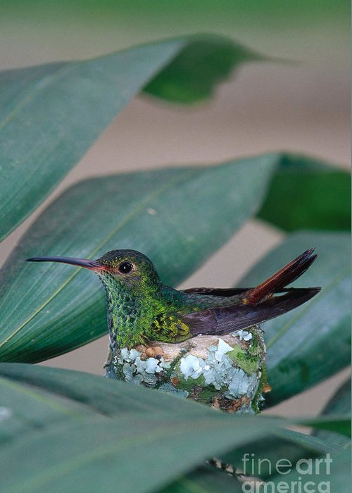 Fauna Greeting Card featuring the photograph Rufous-tailed Hummingbird On Nest by Gregory G Dimijian MD