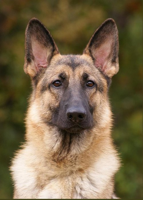 Sable german shepherd dog greeting card for sale by sandy keeton german shepherd greeting card featuring the photograph sable german shepherd dog by sandy keeton m4hsunfo