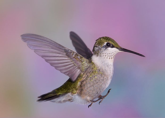Ruby-throated Hummingbird Greeting Card featuring the photograph Safe Landing by Leda Robertson