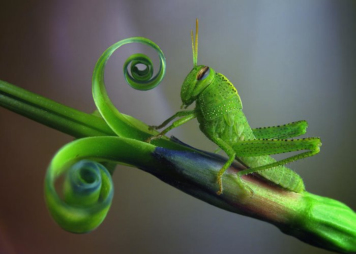 Grasshopper Greeting Cards