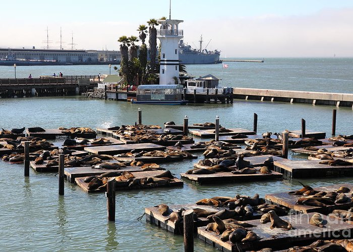 San Francisco Greeting Card featuring the photograph San Francisco Pier 39 Sea Lions 5d26102 by Wingsdomain Art and Photography