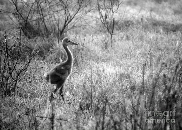 Sandhill Crane Greeting Card featuring the photograph Sandhill Chick In The Marsh - Black And White by Carol Groenen