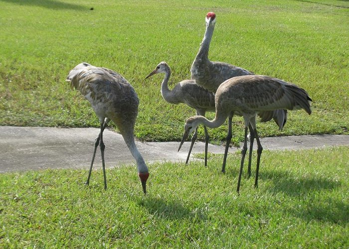 Sandhill Cranes Greeting Card featuring the photograph Sandhill Cranes Family by Zina Stromberg