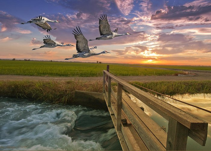 Sandhill Cranes Greeting Card featuring the photograph Sandhill Cranes Over Rice Fields by Ron Schwager