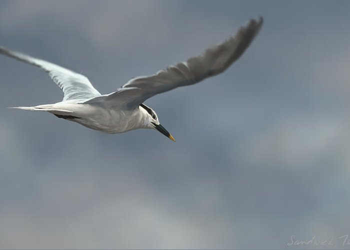Bird Greeting Card featuring the digital art Sandwich Tern by Aaron Blaise